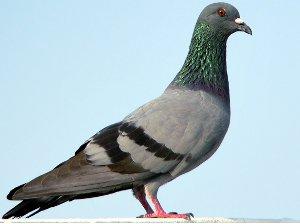 Actualité pigeon entrepreneur projet de loi de finance 2013